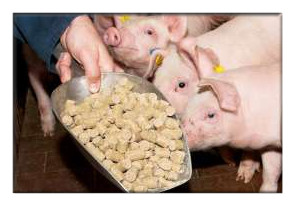 feed pigs with pellet feed